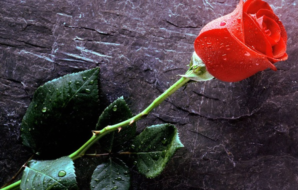 Picture drops, Love, red rose