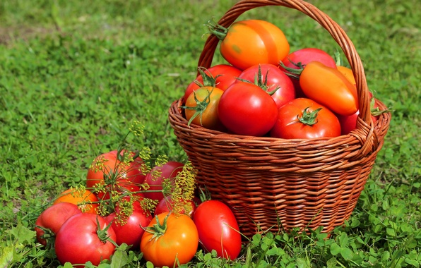 Picture grass, basket, harvest, fruit, tomatoes, tomatoes