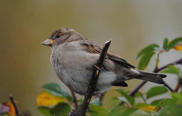 Picture nature, bird, foliage, branch, Sparrow