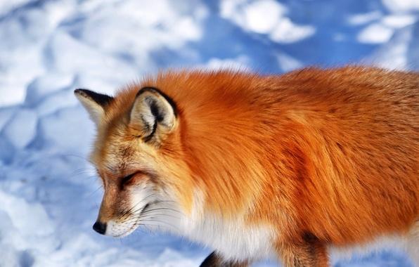 Picture snow, animal, muzzle, Fox, red, Fox