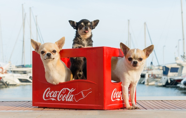 Picture dogs, yachts, pier, box, trio, Chihuahua, harbour, bokeh, Trinity