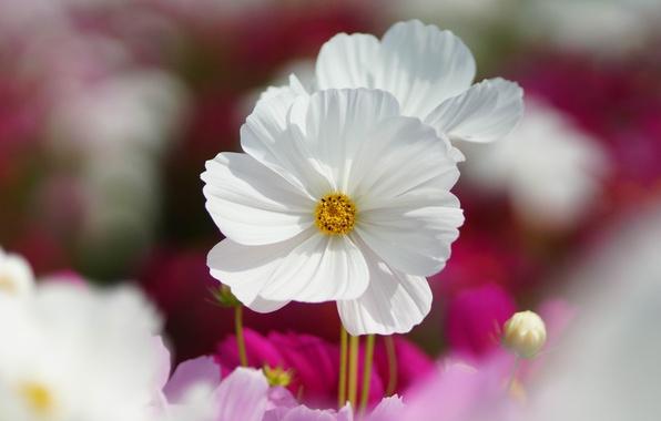 Picture macro, flowers, pink, white, field, kosmeya