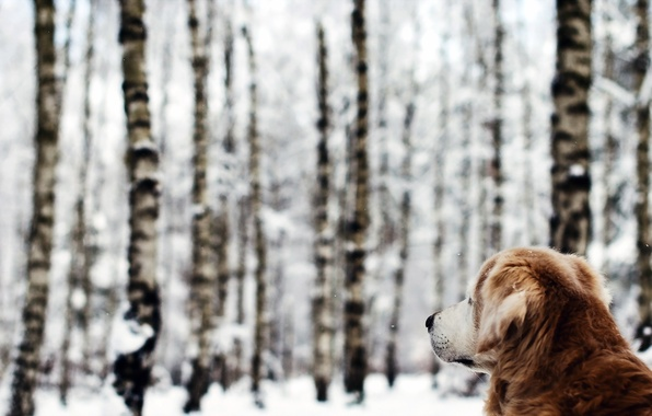 Picture winter, forest, dog