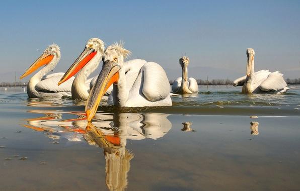 Picture water, birds, reflection, beak, Pelican