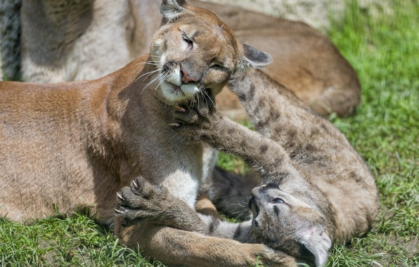 Picture cat, grass, the game, cub, kitty, Puma, mountain lion, Cougar, ©Tambako The Jaguar