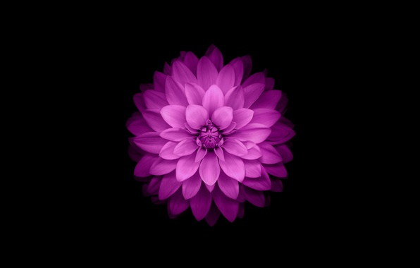 Picture flower, purple, iphone, flower, iPhone, ios8, iphone6