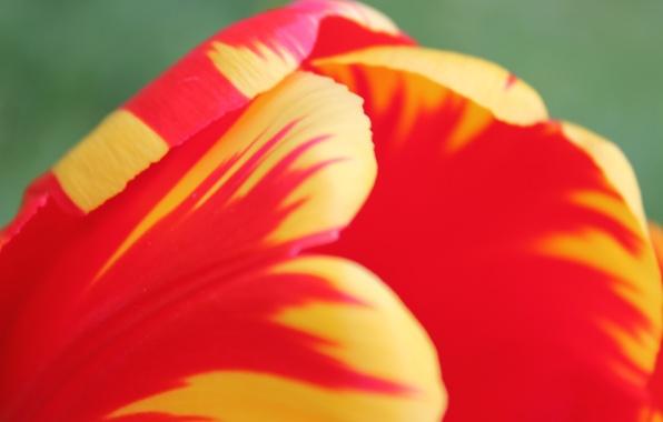 Picture flower, summer, macro, Tulip, bright colors