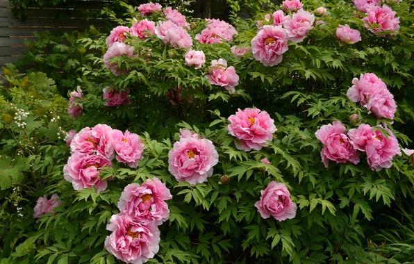 Picture pink, Bush, peonies