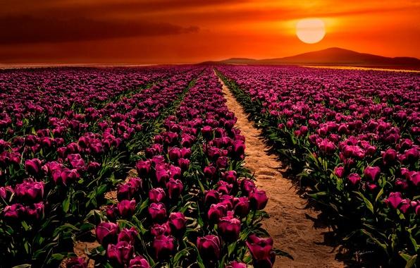 Picture field, sunset, flowers, tulips, Turkey, Turkey, Konya, Konya, Çumra, Cumra