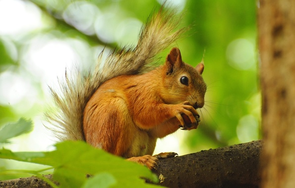 Picture leaves, tree, branch, walnut, protein, red, squirrel, rodent