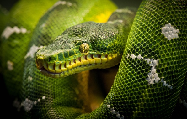 Picture snake, Python, snake, reptile, reptile