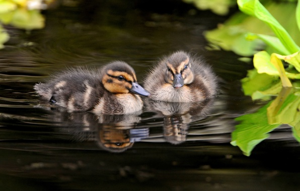 Picture photo, Birds, Ducklings, Animals
