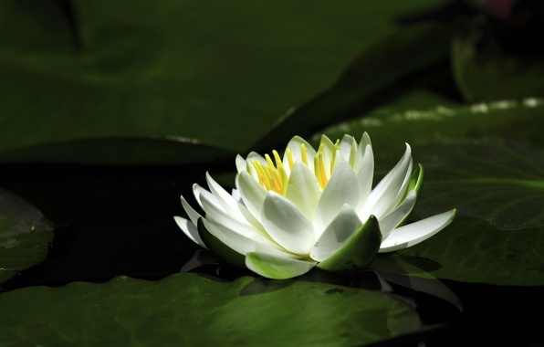 Picture flower, water, Lily, petals, Lily