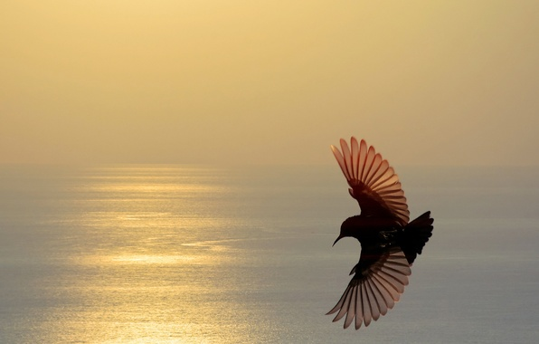 Picture sea, flight, sunset, bird, wings, silhouette