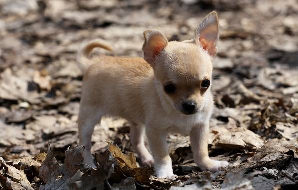 Picture leaves, dog, puppy, Chihuahua