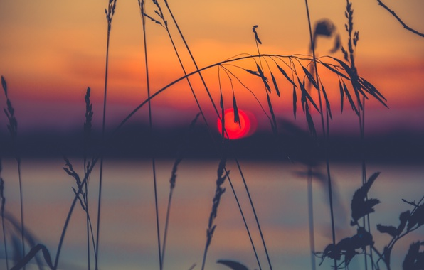 Picture grass, the sun, macro, sunset, nature, a blade of grass, spike