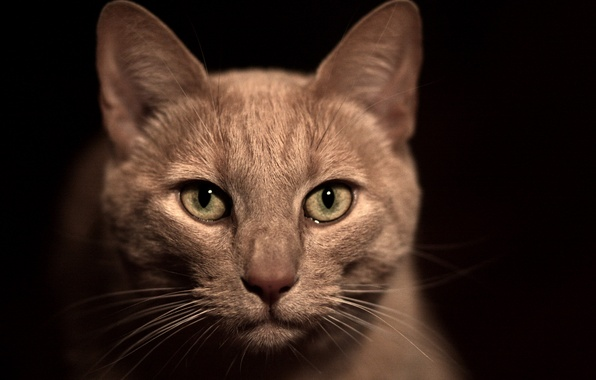 Picture cat, mustache, face, macro, nose, black background, beige, green eyes