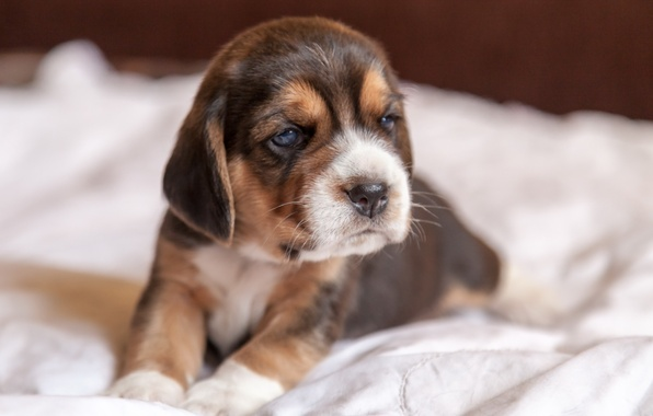 Picture dog, puppy, Beagle