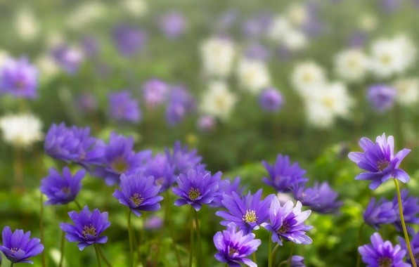 Picture spring, bokeh, Anemone