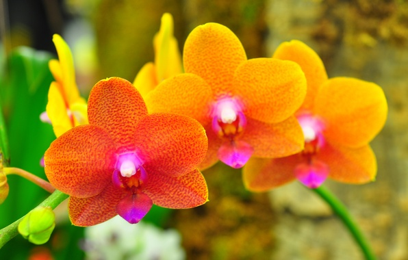 Picture macro, nature, plant, petals, Orchid