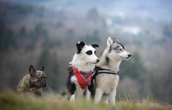 Picture dogs, trio, husky, French bulldog, the border collie, Trinity