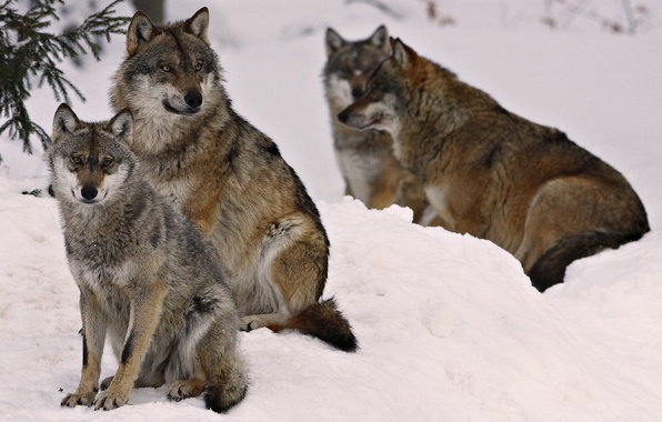 Picture winter, forest, animals, wolf, wolves