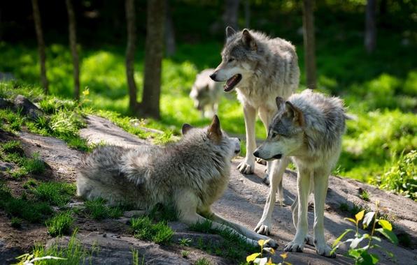 Picture greens, forest, animals, grass, stones, pack, blur, four, wolves, Quartet, boulder