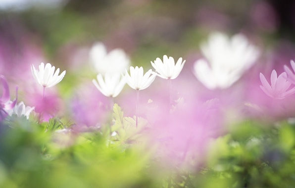 Picture field, grass, flowers, tenderness, blur, white, lilac