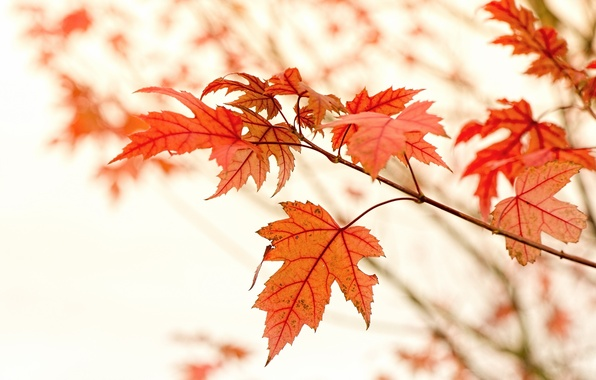 Picture Macro, Nature, Autumn, Leaves, Branches, Maple