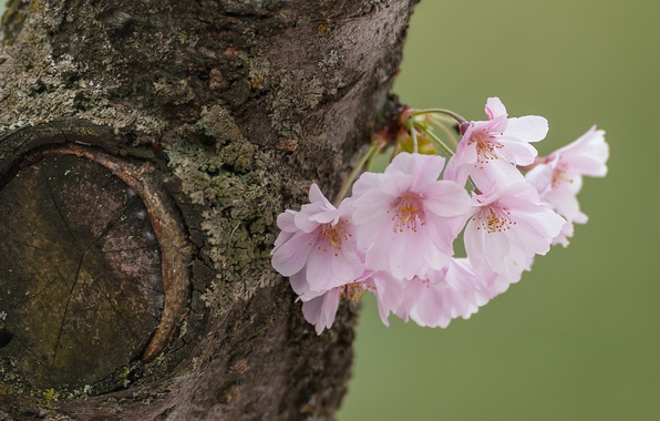Picture macro, cherry, tree, Sakura, flowers