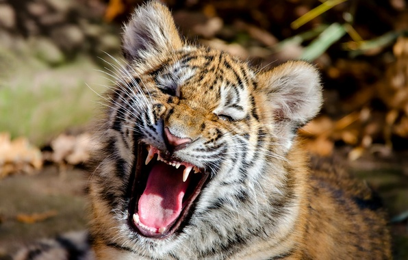 Picture face, tiger, mouth, cub, kitty, The Amur tiger, tiger