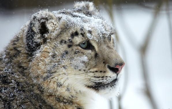 Picture look, face, snow, predator, IRBIS, snow leopard