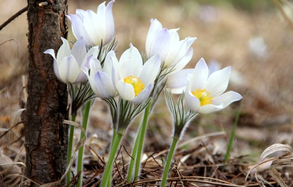 Picture tenderness, spring, anemones, sleep-grass
