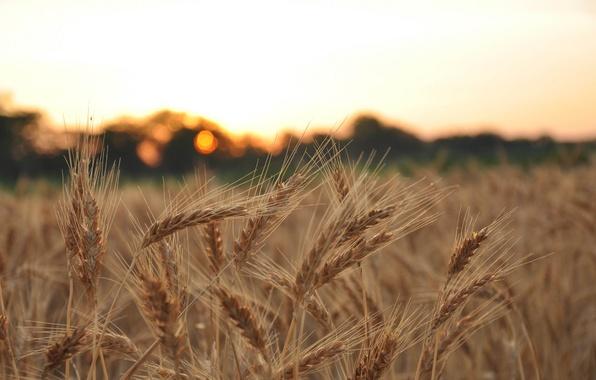 Picture wheat, field, macro, background, widescreen, Wallpaper, rye, blur, spikelets, wallpaper, ears, widescreen, background, spike, full …