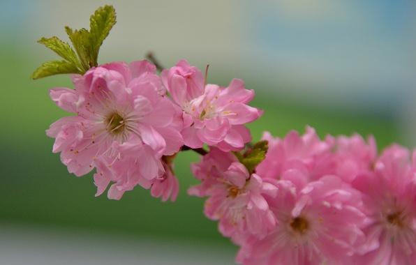 Picture branch, Sakura, pink color