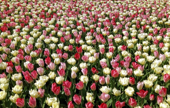 Picture tulips, buds, plantation