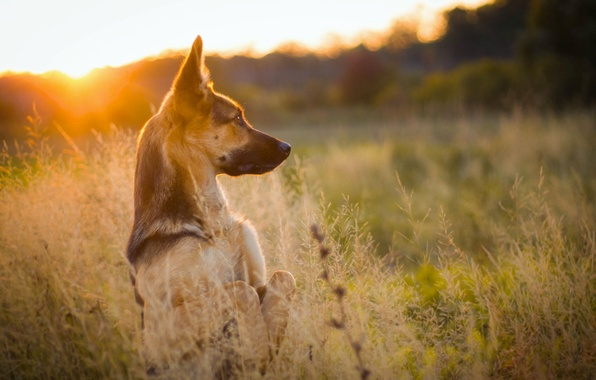 Picture grass, sunset, nature, dog, meadow, stand, shepherd