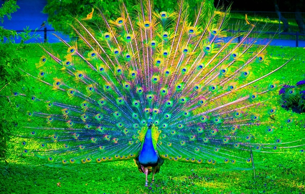 Picture nature, birds, color, peacock