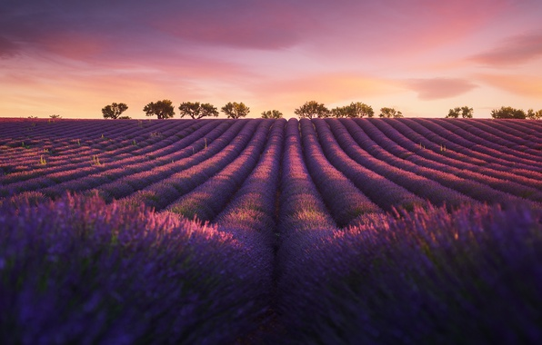 Picture field, nature, the evening, lavender