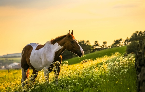 Picture field, nature, horse, horse