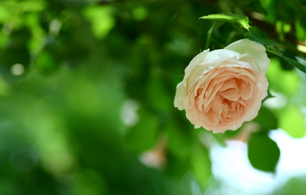 Picture greens, flower, leaves, nature, green, foliage, rose, color, petals, blur, stem, Bud, peach