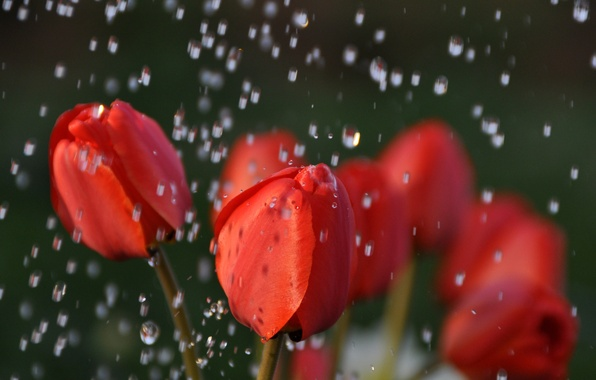 Picture water, drops, macro, flowers, nature, rain, tulips, red, buds
