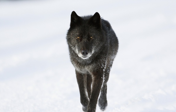 Picture winter, snow, wolf, predator