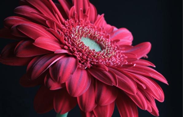 Picture flower, macro, red, gerbera