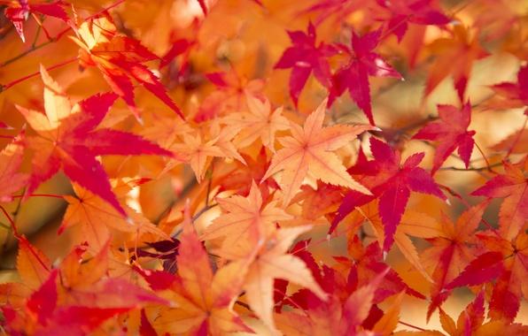 Picture autumn, leaves, texture, the crimson