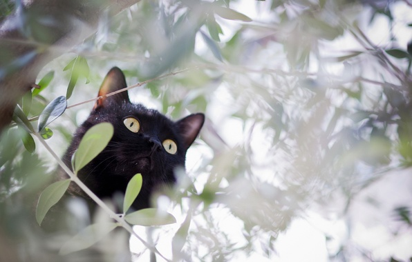 Picture cat, cat, branches, tree, black, hunting
