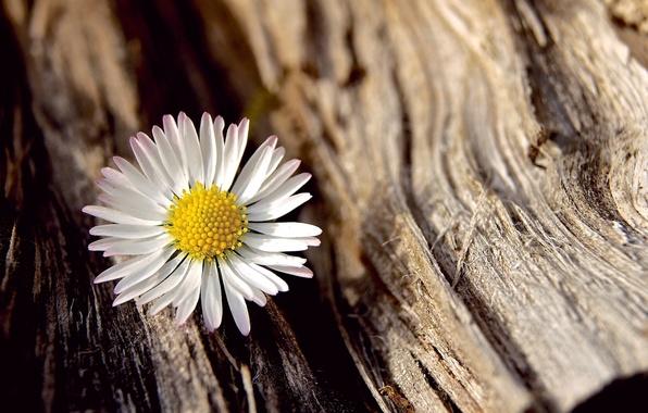 Picture white, flower, macro, flowers, background, tree, widescreen, Wallpaper, Daisy, wallpaper, bark, flower, widescreen, background, full …
