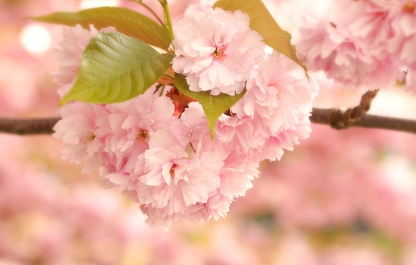 Picture leaves, macro, flowers, branch, Sakura, pink, flowering