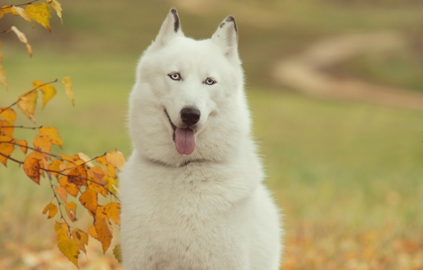 Picture language, each, Wallpaper, dog, husky, wallpapers, man, Siberian, Tim
