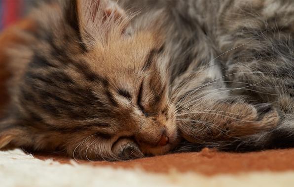 Picture cat, face, kitty, sleep, small, sleeping, fur